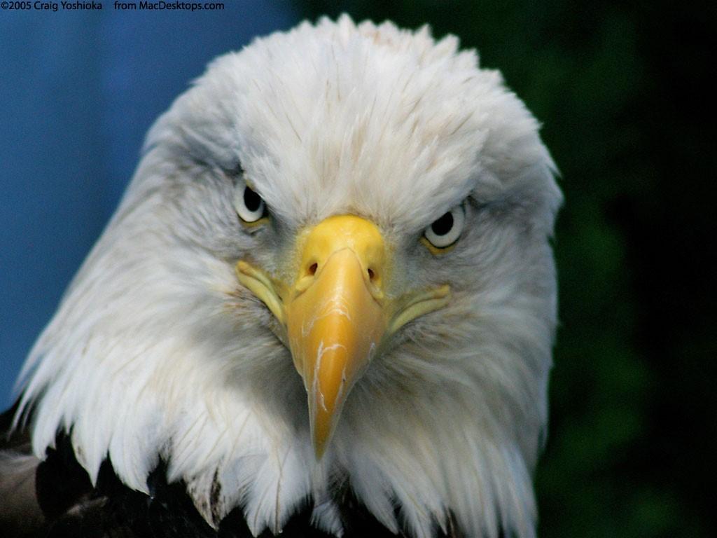 Papel de parede Águia – Pássaro para download gratuito. Use no computador pc, mac, macbook, celular, smartphone, iPhone, onde quiser!