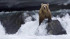 Papel de parede Urso Pescando Salmão