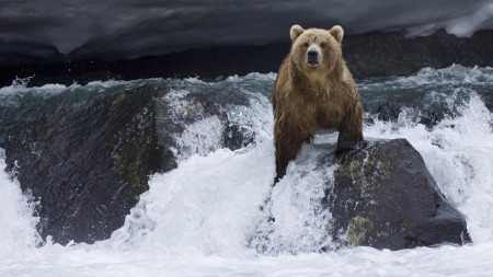 Papel de parede Urso Pescando Salmão para download gratuito. Use no computador pc, mac, macbook, celular, smartphone, iPhone, onde quiser!