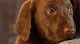 Papel de parede Filhote de Labrador Marrom