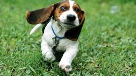 Papel de parede Cão Basset Correndo