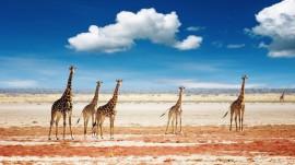 Papel de parede Girafas na Savana