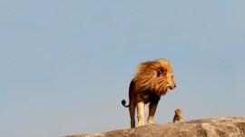 Papel de parede Rei Leão Real