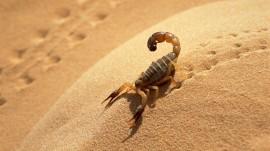 Papel de parede Escorpião na Areia