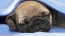 Papel de parede Filhote de Pug Dormindo