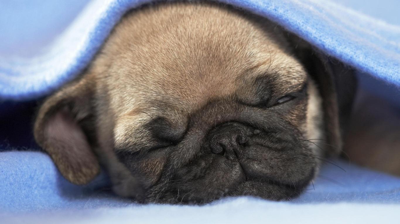 Papel de Parede Filhote de Pug Dormindo Wallpaper para ...