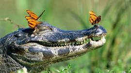 Papel de parede Crocodilo Com Borboletas