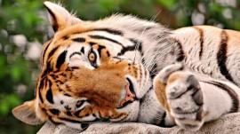 Papel de parede Tigre Deitado de Lado