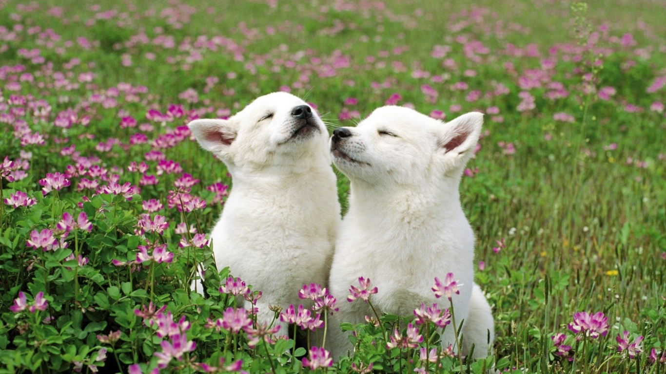 https://www.papeldeparede.etc.br/fotos/wp-content/uploads/1366_Two-Doggie-on-a-Field-of-Flowers.jpg