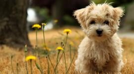 Papel de parede Filhote de Terrier