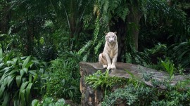Papel de parede Tigre Branco na Selva