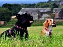 Papel de parede Cachorros no Campo