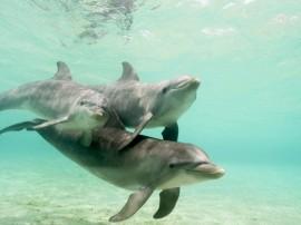 Papel de parede Golfinhos em Águas Claras