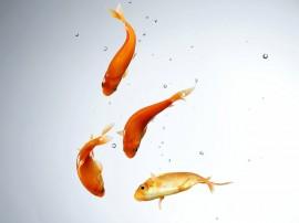 Papel de parede Peixinhos Dourados