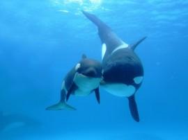 Papel de parede Baleias Orcas