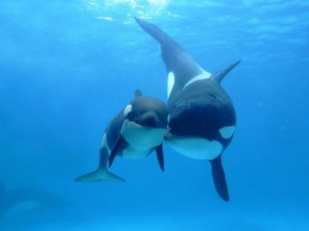 Papel de parede Baleias Orcas para download gratuito. Use no computador pc, mac, macbook, celular, smartphone, iPhone, onde quiser!
