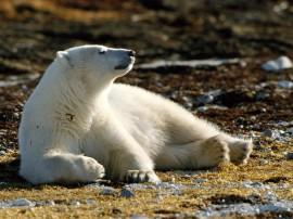 Papel de parede Banho de Sol do Urso Polar