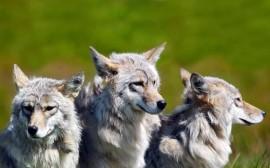 Papel de parede Irmãos Lobos