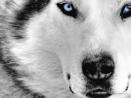 Papel de parede Lobo Ártico