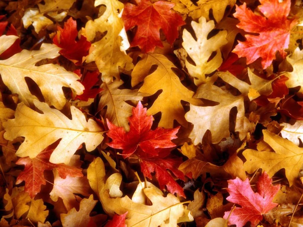 Papel de parede Tapete de Folhas do Outono para download gratuito. Use no computador pc, mac, macbook, celular, smartphone, iPhone, onde quiser!