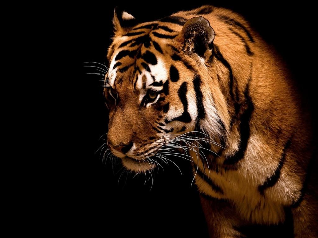 Papel de parede Tigre de Bengala Perfil para download gratuito. Use no computador pc, mac, macbook, celular, smartphone, iPhone, onde quiser!