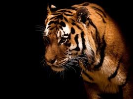 Papel de parede Tigre de Bengala Perfil