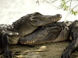 Papel de parede Amor de Crocodilos