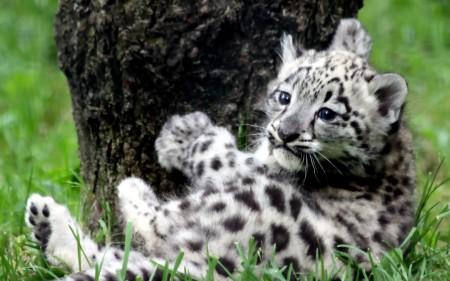 Papel de parede Filhote de Leopardo da Neve para download gratuito. Use no computador pc, mac, macbook, celular, smartphone, iPhone, onde quiser!