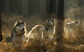 Papel de parede Cães de Caça