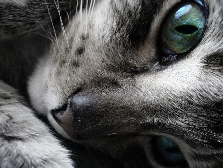 Papel de parede olhos verdes do gato cinza wallpaper para for Foto fond ecran