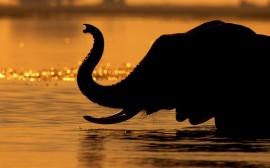 Papel de parede Elefante na Água