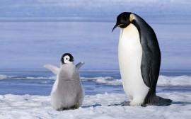Papel de parede Pai e Filho Pinguins