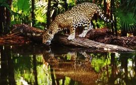 Papel de parede Jaguar Bebendo Água