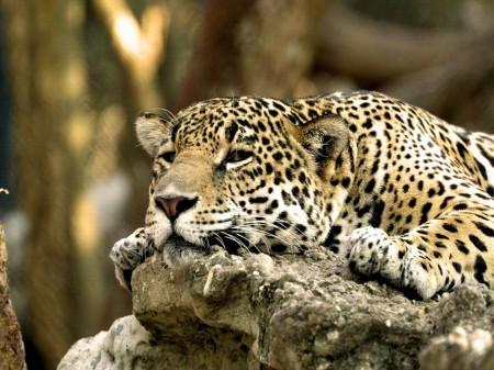 Papel de parede Leopardo Na Pedra para download gratuito. Use no computador pc, mac, macbook, celular, smartphone, iPhone, onde quiser!