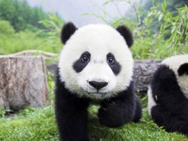 Papel de parede Pequeno Panda