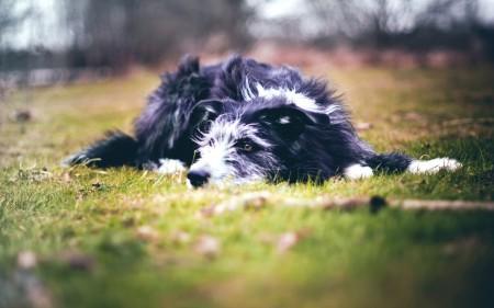 Papel de parede Cachorro Relaxando na Grama para download gratuito. Use no computador pc, mac, macbook, celular, smartphone, iPhone, onde quiser!
