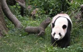 Papel de parede Panda Comendo