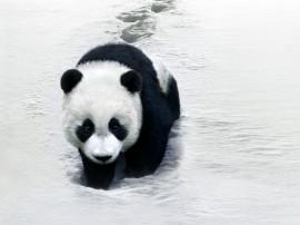 Papel de parede Panda Na Neve