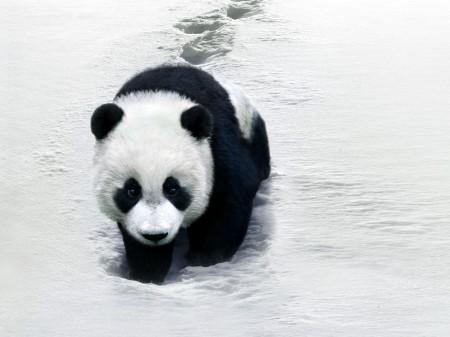 Papel de parede Panda Na Neve para download gratuito. Use no computador pc, mac, macbook, celular, smartphone, iPhone, onde quiser!
