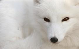 Papel de parede Raposa Polar