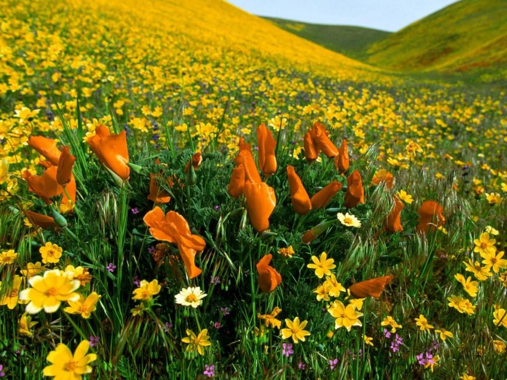 Papel de parede Flores do Campo Coloridas para download gratuito. Use no computador pc, mac, macbook, celular, smartphone, iPhone, onde quiser!