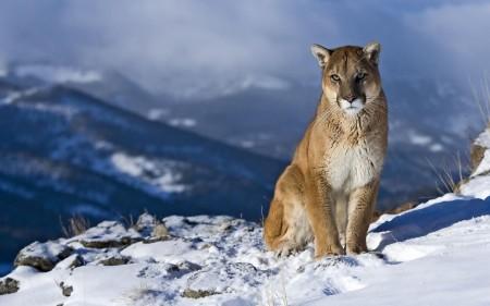 Papel de parede Puma na Neve para download gratuito. Use no computador pc, mac, macbook, celular, smartphone, iPhone, onde quiser!