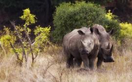 Papel de parede Rinocerontes