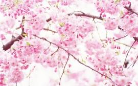 Papel de parede Flor de Cerejeira de Perto