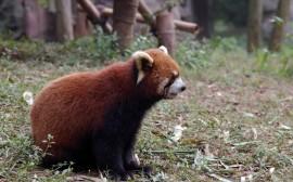 Papel de parede Filhote de Panda Vermelho