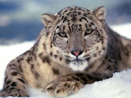 Papel de parede Leopardo da Neve para download gratuito. Use no computador pc, mac, macbook, celular, smartphone, iPhone, onde quiser!