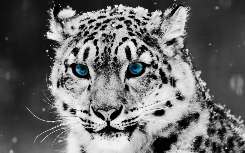 Papel De Parede Leopardo De Olhos Azuis Wallpaper Para Download No