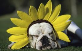 Papel de parede Cachorro com Chapéu de Flor