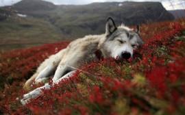 Papel de parede Husky Cansado