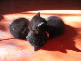 Papel de parede Gatos Gêmeos